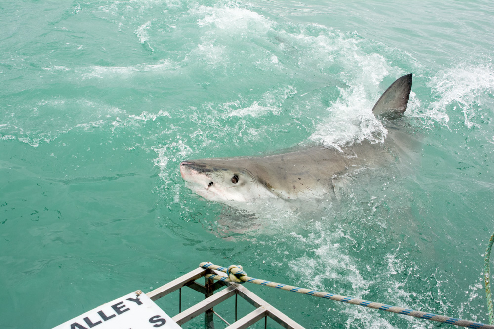Ingrid, a great white shark off the coast of South Africa.