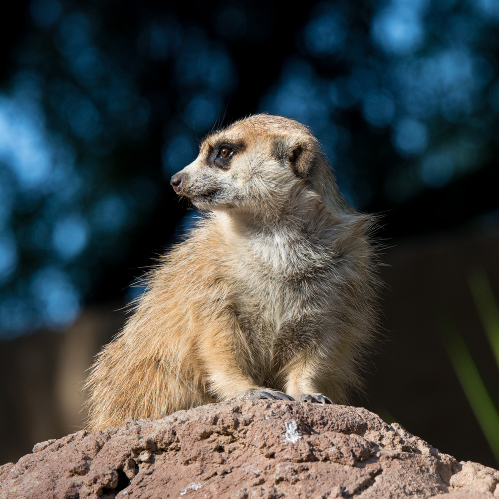 A meerkat. Charming little guy, isn't he?