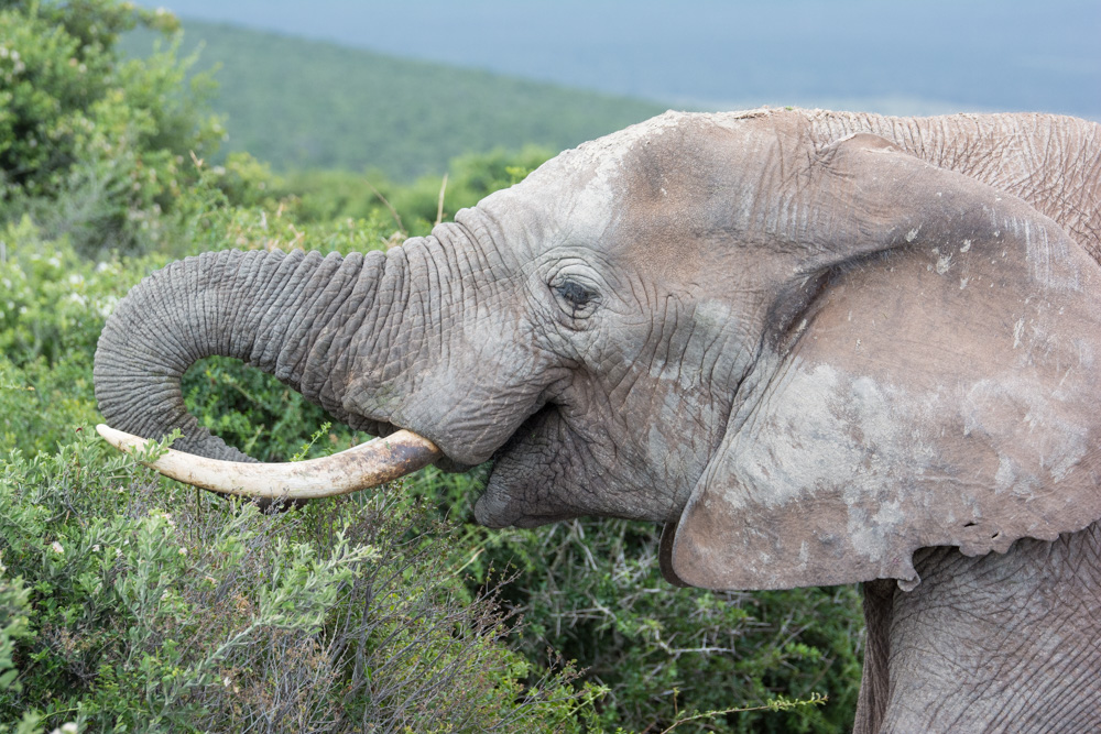 At the Addo Elephant National Park, South Africa