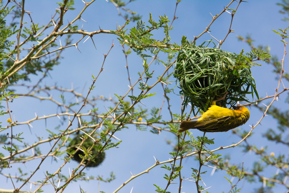 A weaver bird hard at work on a nest to attract a mate.