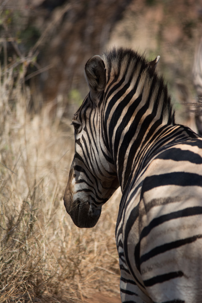 Zebra at Thanda Game Preserve in South Africa