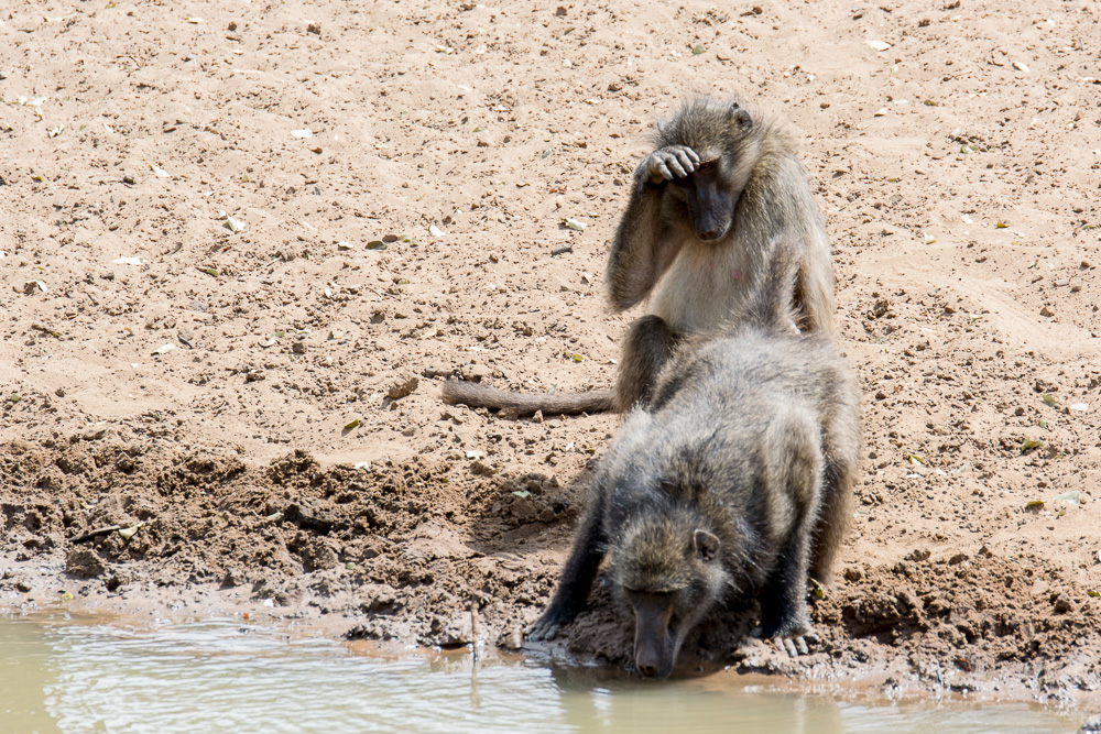 Baboons at a watering hole at the Mkuze Reserve