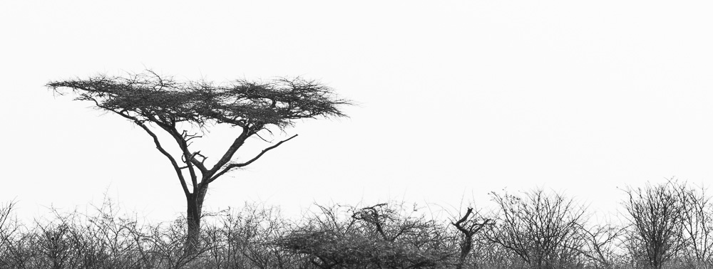Umbrella tree in black and white