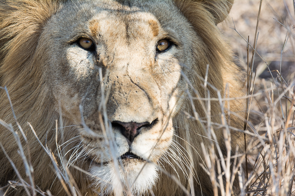 Male Lion at Thanda Private Game Reserve