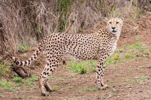 One of the cheetah brothers walking along the road just outside the Ulwazi Lodge, home to the African Impact volunteers