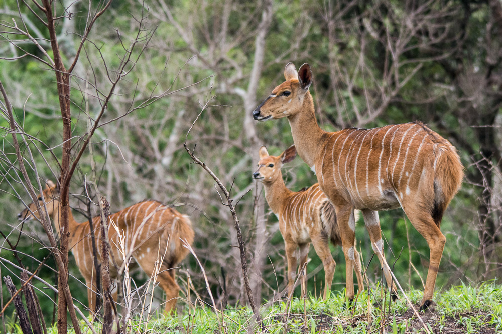 Some nyala at the Hluhluwe-Imfaloza Game Reserve