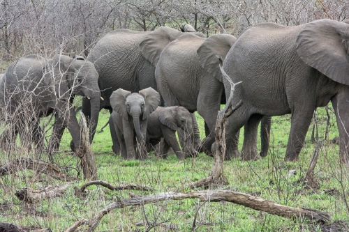 Just a few of the over 100 elephant crossing the road at the Hluhluwe-Imfaloza Game Reserve