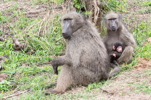 A baboon family -- including a very young newborn -- at the Hluhluwe-Imfaloza Game Reserve