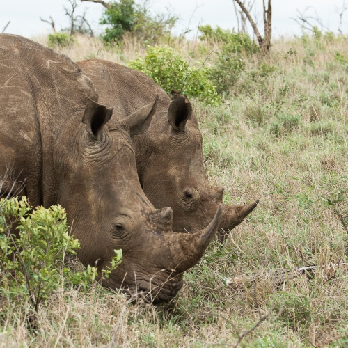 Rhinos at Thanda Private Game Reserve