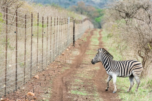 A Zebra at the fence line at Thanda Private Game Reserve